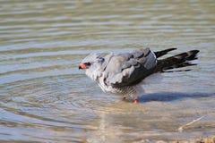 Γεράκι, χλωμό Chanting - άγρια πουλιά από την Αφρική - Tak Στοκ φωτογραφία με δικαίωμα ελεύθερης χρήσης