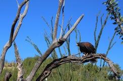 Γεράκι Harris's που σκαρφαλώνει στον κλάδο δέντρων στην έρημο της Αριζόνα στοκ φωτογραφία με δικαίωμα ελεύθερης χρήσης