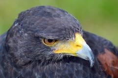 Γεράκι Harris - πουλί του θηράματος - πλευρά στο πορτρέτο Στοκ Εικόνες
