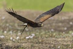 Γεράκι Harris ` s που πετά στη φύση Στοκ φωτογραφία με δικαίωμα ελεύθερης χρήσης