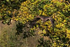 Γεράκι Harris, unicinctus Parabuteo, κόλπος-φτερωτό γεράκι ή σκοτεινό γεράκι στοκ εικόνα