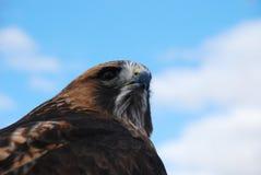 Γεράκι Headshot Redtail που κοιτάζει δεξιά προς το θεατή Στοκ φωτογραφία με δικαίωμα ελεύθερης χρήσης