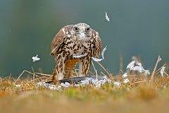 Γεράκι Lanner, πουλί του θηράματος με το πουλί σύλληψης Ζώο στο βιότοπο φύσης, Finnland Συμπεριφορά πουλιών στο λιβάδι Στοκ Εικόνες