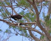 Γεράκι Osprey ή ψαριών Στοκ Εικόνες