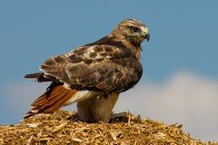 γεράκι redtail Στοκ Φωτογραφία