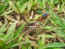 Γεράκι Tarantula Στοκ Εικόνες