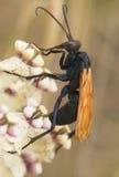 Γεράκι Tarantula Στοκ Φωτογραφίες