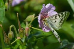 Γεράνι πεταλούδων Στοκ φωτογραφία με δικαίωμα ελεύθερης χρήσης