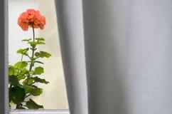 Γεράνι στο παράθυρο στοκ εικόνες