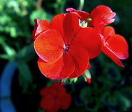 Γεράνι, F1 υβρίδιο, κόκκινο στοκ φωτογραφία με δικαίωμα ελεύθερης χρήσης