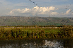 Γερανοί που πετούν στη φύση Στοκ Εικόνες