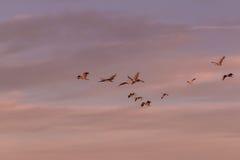 Γερανοί Sandhill που πετούν στο φως ξημερωμάτων Στοκ Φωτογραφίες