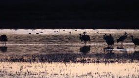 Γερανοί Sandhill στην ανατολή απόθεμα βίντεο