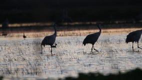 Γερανοί Sandhill στη φύση απόθεμα βίντεο