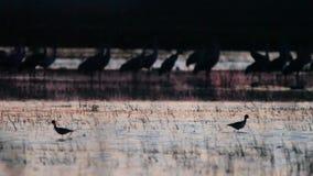 Γερανοί Sandhill στη φύση φιλμ μικρού μήκους