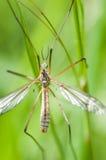 Γερανός-μύγα πορτρέτου εντόμων στοκ εικόνες