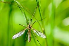 Γερανός-μύγα πορτρέτου εντόμων στοκ εικόνα
