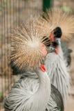 γερανός που στέφεται γκρίζος Στοκ Εικόνες