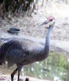 Γερανός Sandhill στο ζωολογικό κήπο Στοκ εικόνα με δικαίωμα ελεύθερης χρήσης