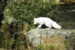Γερμανία, Γκελσενκίρχεν, ζουμ Erlebniswelt, αρκτική αλεπού Στοκ εικόνα με δικαίωμα ελεύθερης χρήσης