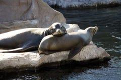 Γερμανία, Γκελσενκίρχεν, ζουμ Erlebniswelt, λιοντάρια θάλασσας Στοκ εικόνες με δικαίωμα ελεύθερης χρήσης