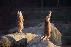 Γερμανία, ζωολογικός κήπος, mongooses στοκ εικόνες με δικαίωμα ελεύθερης χρήσης