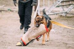 Γερμανική κατάρτιση σκυλιών ποιμένων δαγκώνοντας σκυλί στοκ εικόνες