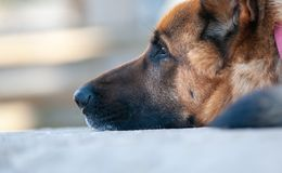 Γερμανική κινηματογράφηση σε πρώτο πλάνο σκυλιών ποιμένων Στοκ Φωτογραφίες