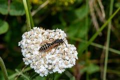 Γερμανική σφήκα Vespula germanica- σε ένα φύλλο στη φύση Μακρο φωτογραφία Στοκ φωτογραφία με δικαίωμα ελεύθερης χρήσης