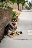 Γερμανική τοποθέτηση σκυλιών ποιμένων Στοκ φωτογραφίες με δικαίωμα ελεύθερης χρήσης