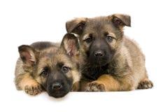 γερμανικοί ποιμένες puppys Στοκ Φωτογραφίες