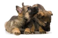 γερμανικοί ποιμένες puppys Στοκ εικόνα με δικαίωμα ελεύθερης χρήσης