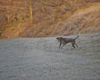 Γερμανικός με κοντά μαλλιά δείκτης - σκυλί κυνηγών Στοκ φωτογραφίες με δικαίωμα ελεύθερης χρήσης