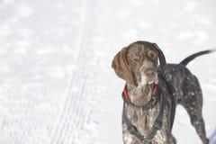 Γερμανικός με κοντά μαλλιά δείκτης - σκυλί κυνηγών Στοκ εικόνες με δικαίωμα ελεύθερης χρήσης