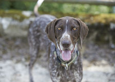 Γερμανικός με κοντά μαλλιά δείκτης - σκυλί κυνηγών Στοκ Φωτογραφία