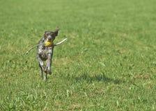 Γερμανικός με κοντά μαλλιά δείκτης - σκυλί κυνηγών Στοκ Εικόνα