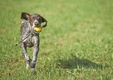 Γερμανικός με κοντά μαλλιά δείκτης - σκυλί κυνηγών Στοκ Φωτογραφίες