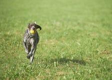 Γερμανικός με κοντά μαλλιά δείκτης - σκυλί κυνηγών Στοκ φωτογραφία με δικαίωμα ελεύθερης χρήσης