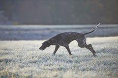 Γερμανικός με κοντά μαλλιά δείκτης - σκυλί κυνηγών Στοκ Εικόνες