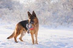 Γερμανικός ποιμένας με το παιχνίδι το χειμώνα Στοκ φωτογραφία με δικαίωμα ελεύθερης χρήσης