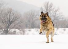 Γερμανικός ποιμένας που τρέχει μέσω του χιονιού Στοκ φωτογραφίες με δικαίωμα ελεύθερης χρήσης