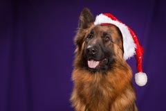 Γερμανικός ποιμένας σε ένα καπέλο Χριστουγέννων Πορφυρή ανασκόπηση Στοκ φωτογραφία με δικαίωμα ελεύθερης χρήσης