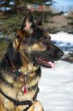 γερμανικός ποιμένας σκυλιών Στοκ εικόνα με δικαίωμα ελεύθερης χρήσης
