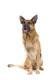 γερμανικός ποιμένας σκυλιών Στοκ Φωτογραφίες