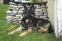 γερμανικός ποιμένας σκυλιών Στοκ εικόνες με δικαίωμα ελεύθερης χρήσης