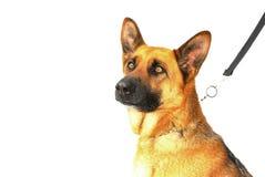 γερμανικός ποιμένας σκυλιών Στοκ Εικόνες