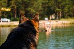 Γερμανικός ποιμένας σκυλιών στην ακτή της λίμνης Στοκ Φωτογραφία