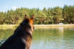Γερμανικός ποιμένας σκυλιών στην ακτή της λίμνης Στοκ φωτογραφίες με δικαίωμα ελεύθερης χρήσης