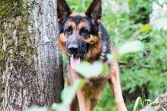 Γερμανικός ποιμένας σκυλιών στο δάσος Στοκ εικόνες με δικαίωμα ελεύθερης χρήσης