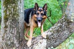 Γερμανικός ποιμένας σκυλιών στο δάσος Στοκ Εικόνες